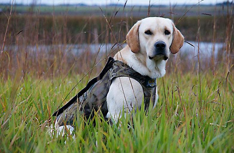 British Labs Labrador Puppies