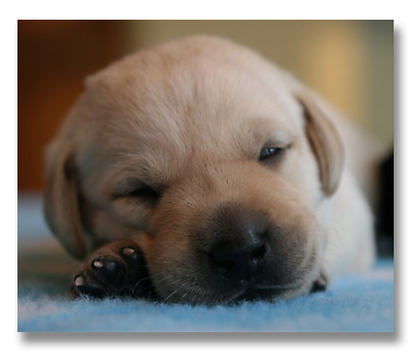 Lab Puppies For Sale British Labrador Pups Wild Slough Minnesota