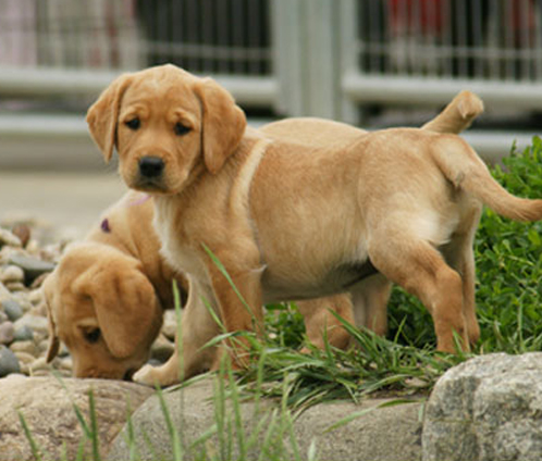 Lab Puppies For Sale British Labrador Pups Wild Slough Minnesota