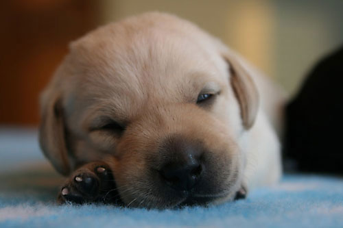 British Lab Breeders | UK Lab Puppies for Sale | Wild Slough